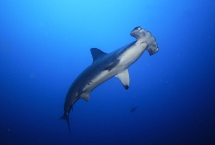 Scalloped hammerhead shark, undated/Thinkstock.com, RedOrbit.com