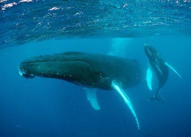 Humpback whales, location & date unknown/Hemera Stuart Westmoreland, Corbis, Istockphoto, Discovery News
