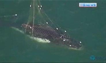 Humpback calf tangled in shark net off Mona Vale beach, Sydney, Australia, Oct 22, 2013/AAP, The Guardian