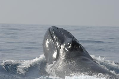 Humpback surfaces to breathe off Dominican Republic, undated/Salvatore Cerchio, Wildlife Conservation Society, EurekAlert!