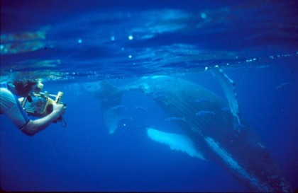 Researcher videotapes humpback whale in Hawaii, undated/Louis Herman, Science Now