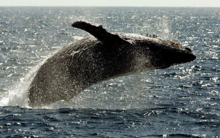 North Pacific Humpback, off Maui, Hawaii, January 23, 2005/Reed Saxon, AP, Global News