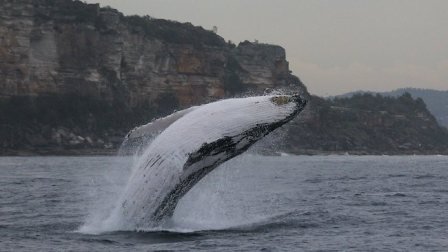 Humpback whale, location & date unknown/News.com.au