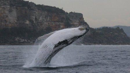 Humpback whale, location & date unknown/News.com.au