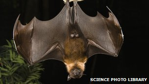 Indian flying fox, location & date unknown/Science Photo Library, BBC News