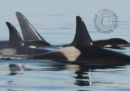 Members of J Pod, including Granny, believed to be 100 years old (individual IDs unclear), San Juan Islands, off Washington State, May 15, 2013/Astrid van Ginniken, Center for Whale Research, Seattle PI
