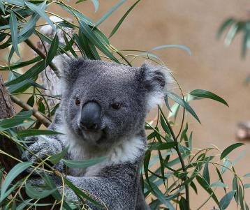 Male Koala, undated/Rennett Stowe, Flickr, Creative Commons, International Business Times
