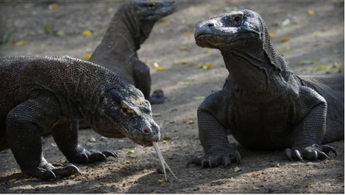 Komodo Dragons, Komodo National Park, Indonesia, Dec 3, 2010/Romeo Gacad, AFP, Getty, CBS News