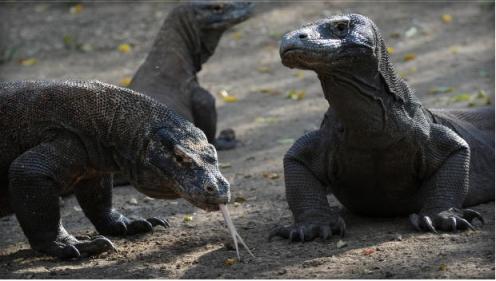 Komodo Dragons, Komodo National Park, Indonesia, Dec 3, 2010/Romeo Gacad, AFP, Getty, CBS News