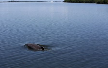 Dolphin near Round Island, Indian River Lagoon, FL, undated/Chris Zuppa, Tampa Bay Times