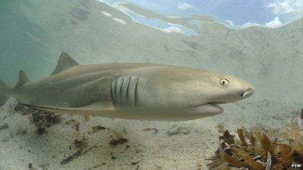 Female lemon shark/PEW, BBC News