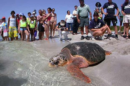 Female Loggerhead turtle heads into Atlantic waters after release, Key Biscayne, FL, 2004/U.S. News & World Report