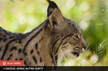 Iberian Lynx, location and date unspecified/Discovery News