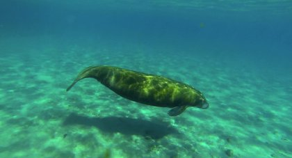 Manatee off Peanut Island, FL/Julio Cortez, AP, The New York Times