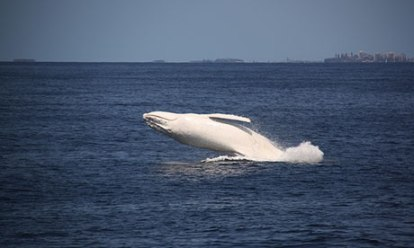 Migaloo, the white humpback, off Australia's Gold Coast, Sept. 27, 2012/Sea World Whale Watch, The Guardian