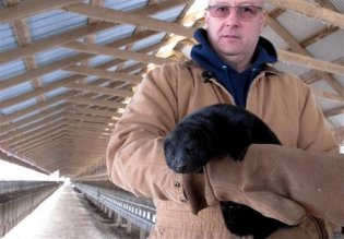 Bob Zimbal with mink, cages in background, Sheboygan Falls, WI, Feb 12, 2013/Carrie Antlfinger, AP