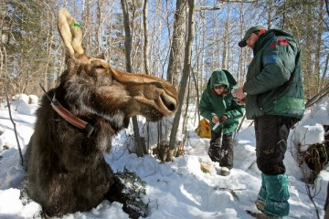 Research biologist Mark Keech and veterinarian Tiffany Wolf fit moose with radio collar, Minnesota, undated/Brian Peterson, Minneapolis Star Tribune, The New York Times