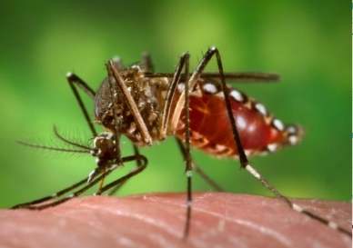 Aedes aegypti mosquito/wikicommons, University Herald