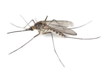 Unidentified species of mosquito/Henrik Larsson, Getty, USA Today