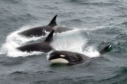 Type D Killer Whales, sub-Antarctic, undated/Jean-Pierre Sylvestre, National Geographic