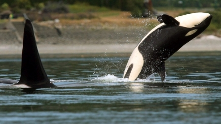 Orcas, Liberty Bay, Poulsbo, Washington, July 18, 2013/Meegan M. Reid, Kitsap Sun, AP, CTV News