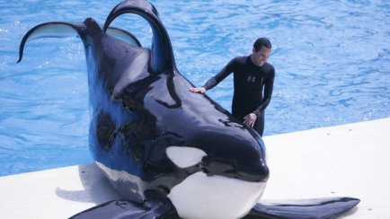 Unidentified captive orca and trainer/John Gastaldo, U-T San Diego