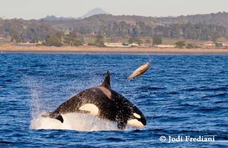 Transient killer whale rams common dolphin, Monterey Bay, CA, 2013/Jodi Frediani, Wired.com
