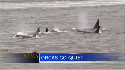 Northern resident killer whales off British Columbia, undated/still from news report, bc.ctvnews.ca