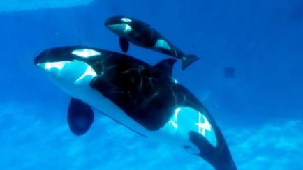 Kasatka and male calf, Makani, SeaWorld San Diego, Feb 14, 2013/CTV News