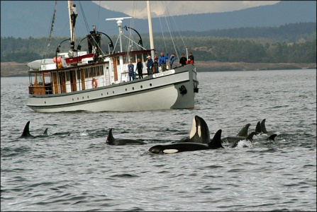 Orcas and whale-watchers, Puget Sound, undated/Center for Whale Research, Komonews.com