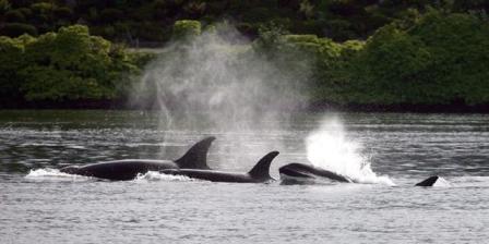 Orcas, Bremerton, WA, June 5, 2013/Larry Steagall, Kitsap Sun, AP, Ottawa Citizen