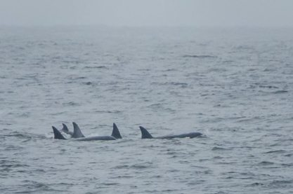 Orcas in Norton Sound off Nome, Alaska, July 18, 2013/National Park Service, Alaska Dispatch