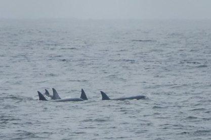 Orcas in Norton Sound off Nome, Alaska, July 18, 2013/National Park Service, Alaska Dispatch