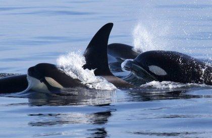 Members of 19-strong orca pod seen feasting on sea lions, Monterey Bay, Nov 8-11, 2013/ Jodi Frediani, Monterey Bay Whale Watch, San Jose Mercury News