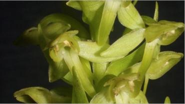 Hochstetter's butterfly orchid/Richard Bateman, Mother Nature News
