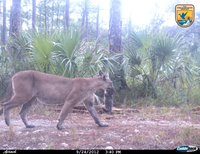 Uncollared female panther moves one of three kittens to a new den after a rain, Florida Panther National Wildlife Refuge, Sept 24, 2012/FPNWR trail camera, U.S. Fish & Wildlife Service