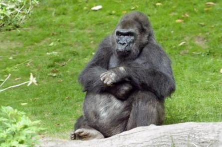 Pattycake, Bronx Zoo, undated/Julie Larsen Maher, Wildlife Conservation Society, Daily News