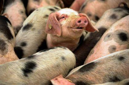 Bentheim Black Pied pigs, location & date unknown/Sascha Schuermann, Getty, AFP, National Geographic