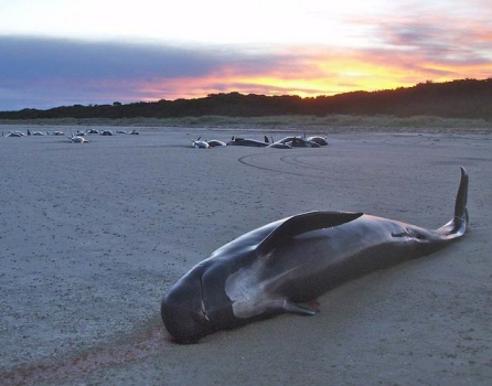 Pilot whale mass stranding, northeast Tasmania, 2008/DPIPWE Marine Conservation Program, Science Daily
