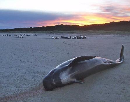 Pilot whale mass stranding, northeast Tasmania, 2008/DPIPWE Marine Conservation Program, Science Daily