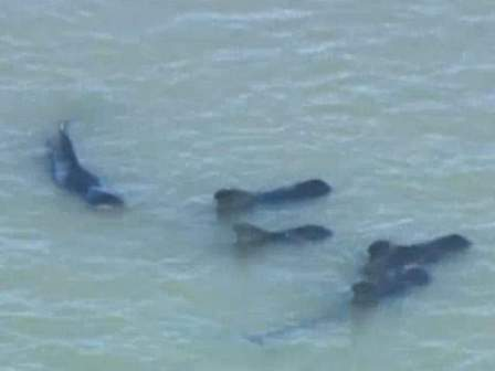 Some of an estimated 51 pilot whales in danger of stranding off Highland Beach, Everglades National Park, FL, Dec 3, 2013/NBC 6, News Channel 5, wptv.com