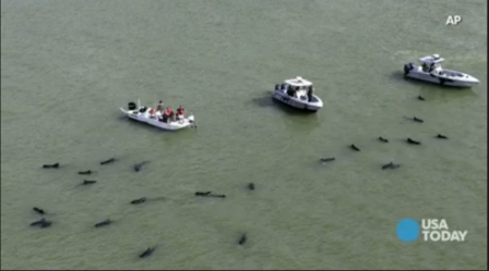 Boaters try to herd pilot whales out of dangerously shallow waters off Everglades National Park, Florida, Dec 5, 2013/USA Today, USA Now