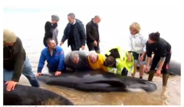 Volunteers and Stranded Long-Finned Pilot Whales, Portmahomack, Scotland, April, 2013/BBC News