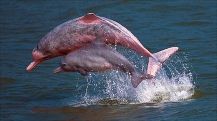 Pink dolphins off Lantau, Hong Kong, undated/AFP, The Raw Story