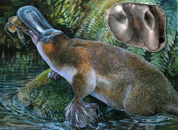Artist's depiction of ancient sharp-toothed platypus and tooth/Peter Schouten, Rebecca Pian, The Register