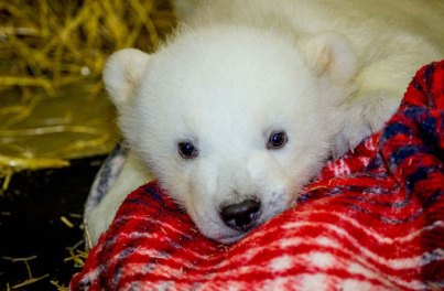Orphaned male polar bear cub Kali, Alaska Zoo, undated/John Gomez, Alaska Zoo, Discovery News
