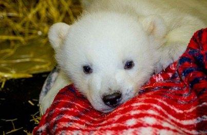 Orphaned male polar bear cub Kali, Alaska Zoo, undated/John Gomez, Alaska Zoo, Discovery News