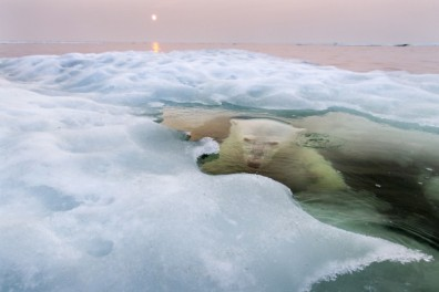 "National Geographic 2013 Photo Contest Grand Prize Winner, ""The Ice Bear""/Paul Souders, National Geographic"