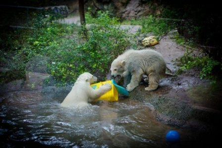 Wild-born orphan Kali (left) and zoo-born Luna, Buffalo Zoo, Buffalo NY, undated/Douglas Levere, Alaska Dispatch