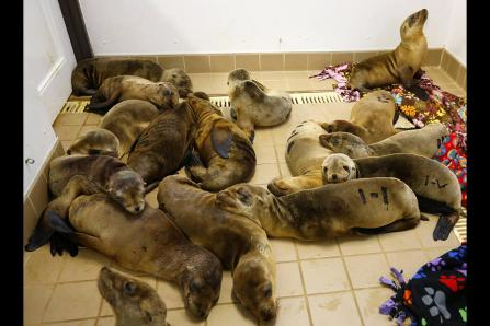 Rescued sea lion pups, Pacific Marine Mammal Center, Laguna Beach, CA, March 13, 2013/Mike Blake, Reuters, Christian Science Monitor